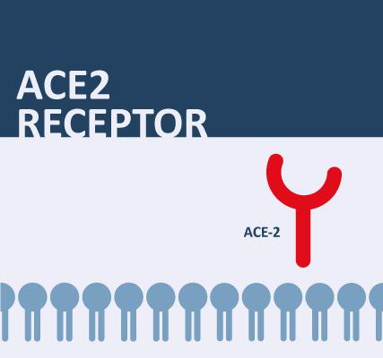 ACE2 Receptor