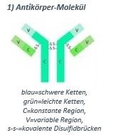 Aufbau eines Antikörper-Moleküls