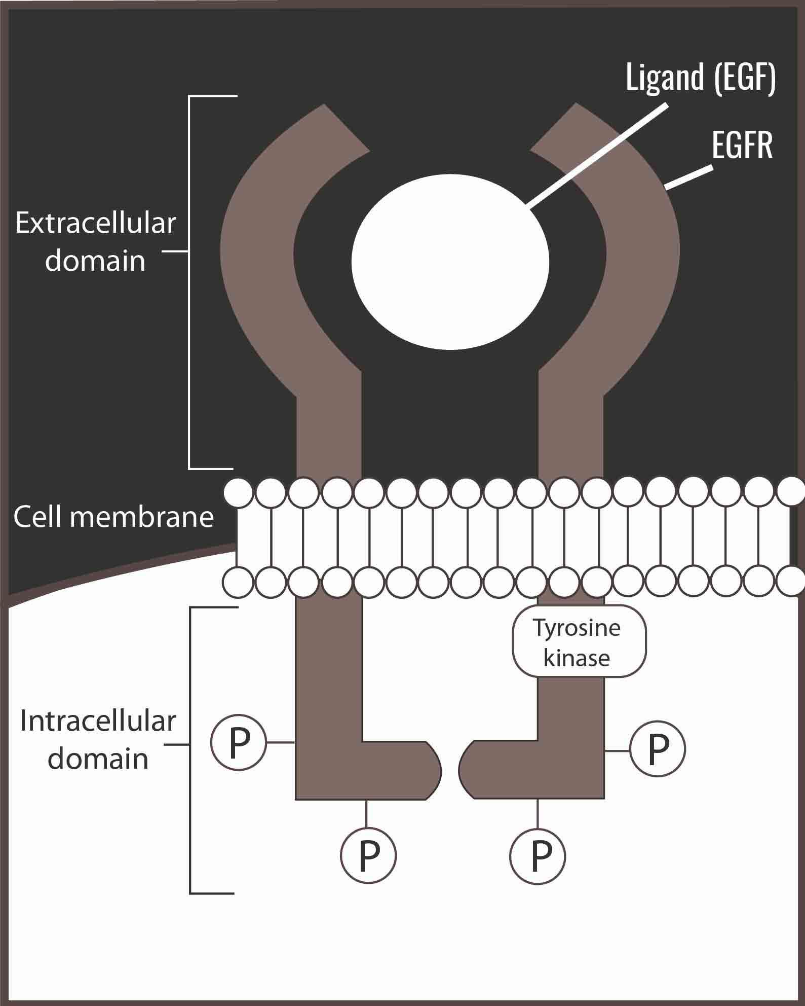 Epidermaler Wachstumsfaktor-Rezeptor (EGFR)