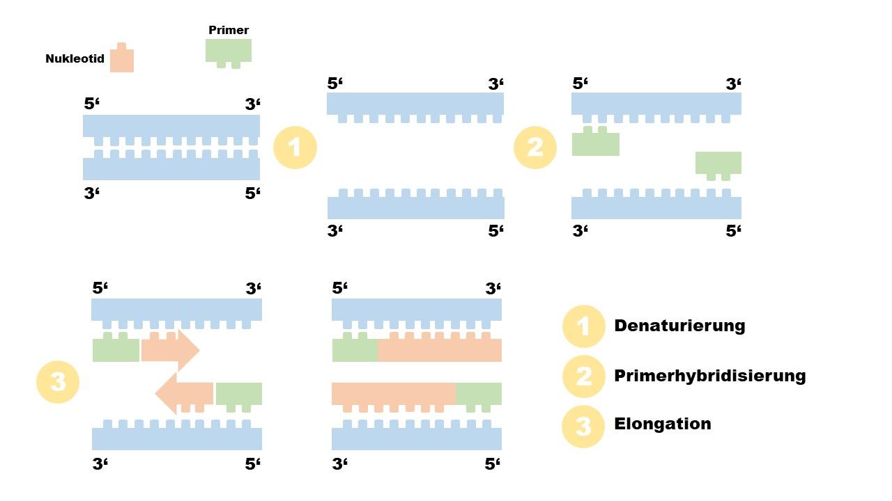 PCR Diagramm
